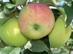 Едим яблоки – улучшаем здоровье и предотвращаем старость