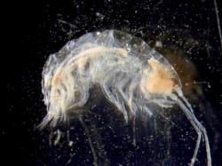 Под льдами Антарктики нашли новый вид креветок