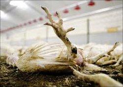 Птичий грипп и может стать не только птичьим…